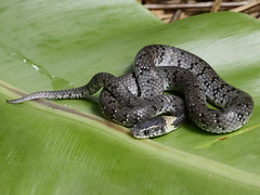 Pareas macularius