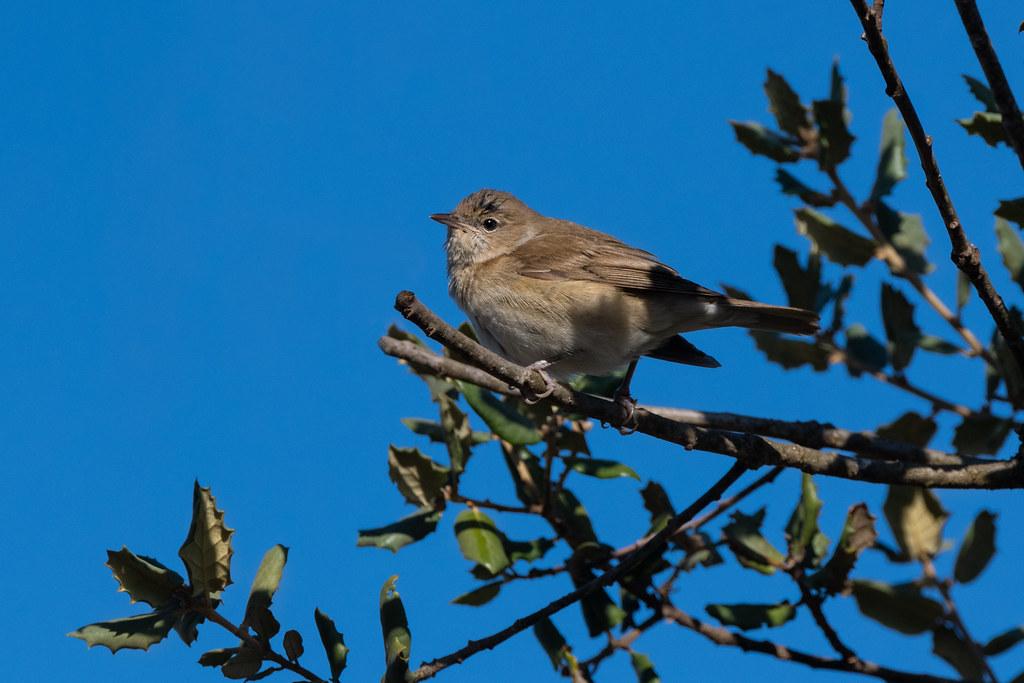 Garden Warbler - Felosa-das-figueiras - Sylvia borin