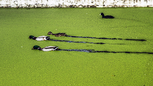 Little Venice, duck racing