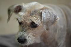 Kucuk ve Yasli Terrier