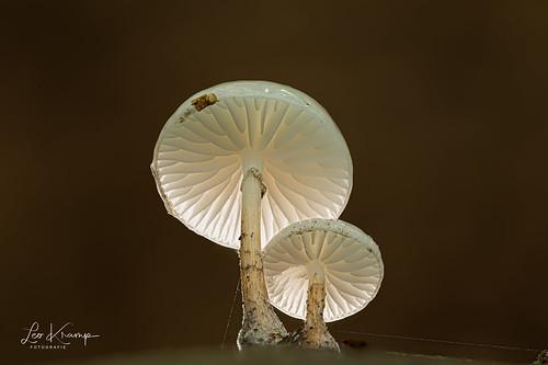 Porcelain fungus   Porseleinzwam