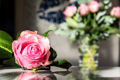 Pink rose - Timid love. I watch you from afar.
