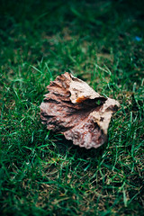 Dry leaf that fell from a tree on the grass.