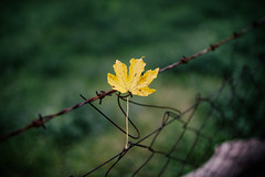 Dry yellow maple leaf on a barbed wire.jpg.