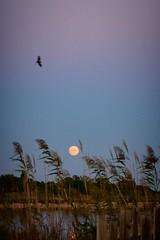 Camargue Autumn Moon