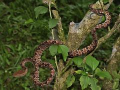 Protobothrops mucrosquamatus