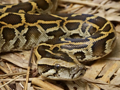 Python bivittatus