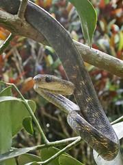 Boiga guangxiensis