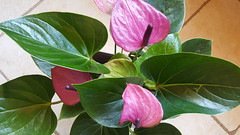 Anturio morado / Anthurium purple