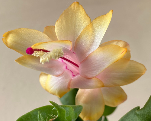 The 'Gold Charm' or Yellow Thanksgiving Cactus (the very rare YELLOW 'May flower') at home.