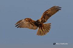 An Eurasian Marsh Harrier looking for a roosting place during sunset