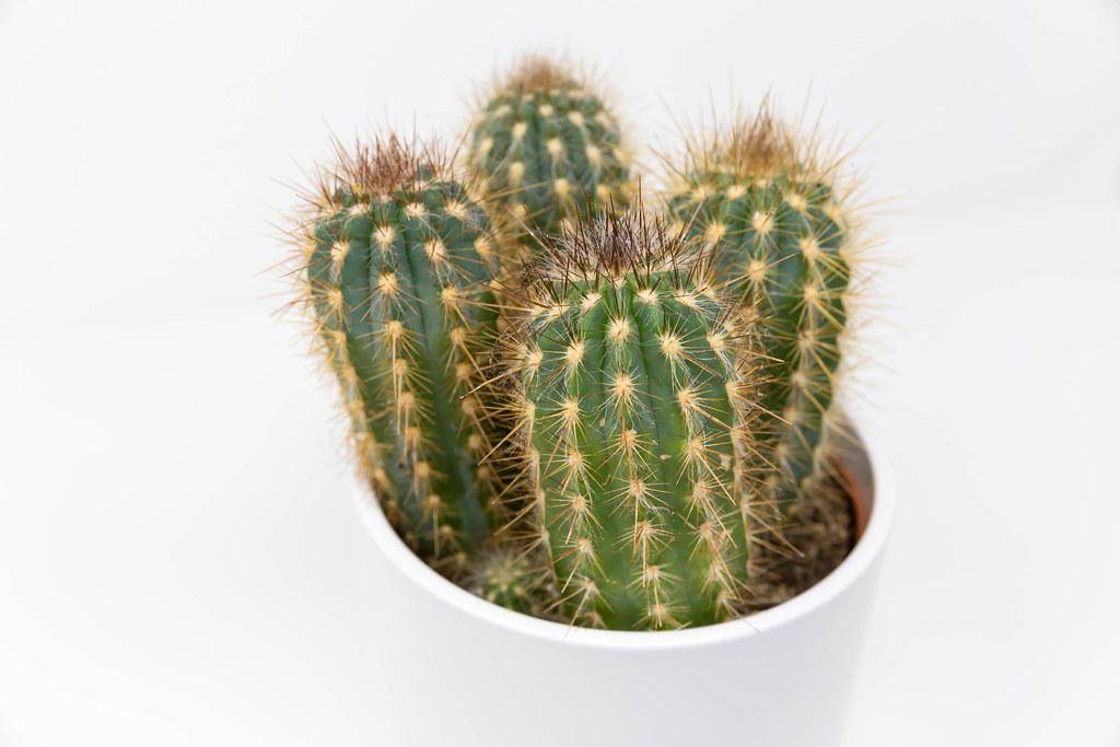Nahaufnahme von vier Mini-Kaktuspflanzen in einem weißen Topf auf weißem Hintergrund