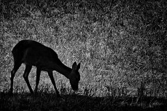 Roe deer - Photo of Larnagol