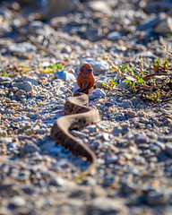 Juvenile Northern cottonmouth