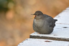 American Dipper & Morning Frost