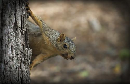 Squirrel, Morton Arboretum. 469 (EOS)
