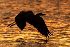 Great Blue Heron Inflight at Sunset