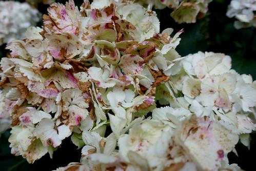 Au jardin, attaques du temps et de la sècheresse, hortensia à grandes fleurs(hydrangea macrophylla), Bosdarros, Béarn, Pyrénées Atlantiques, Nouvelle-Aquitaine, France.