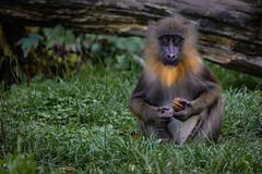 Monkey baby Variation 1
