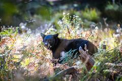 Yosemite National Park Black Bear Wildlife Photography! Autumn Colors Fall Foliage! California Fine Art Landscape Nature Photography! Elliot McGucken 45EPIC Sony A7RIV & Sony FE 200-600mm f/5.6-6.3 G Oss E-Mount Lens SEL200600G GMASTER Zoom Lens!