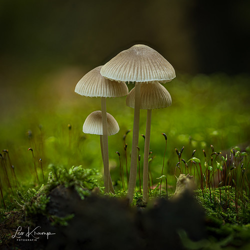 Angel's bonnet | Bundelmycena
