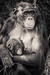 Monkey baby Variation 2 - Photo of Savigné
