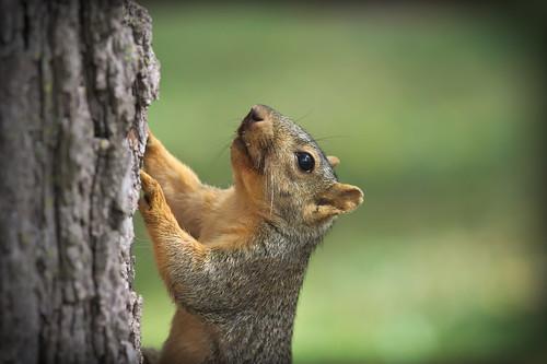 Squirrel, Morton Arboretum. 470 (EOS)