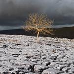 Lone Tree in Limestone by Martin Parratt