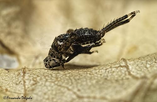 Exuviae of a Hemiptera