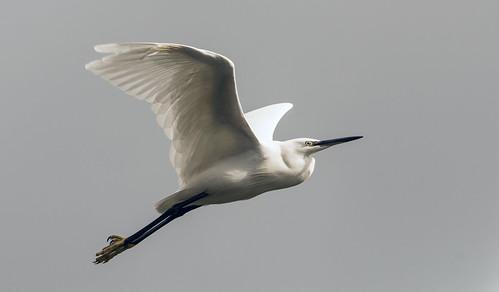 Little Egret:  Dodder River, Ireland today