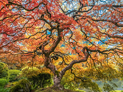 The Tao of the Portland Japanese Garden: Japanese Maple Tree Mixed Autumn Colors: Yellow Orange Green Red Leaves Fine Art Landscape Nature Photography! Fuji GFX 100 Zen Tao Photography! Elliot McGucken Master Medium Format Photographer Fujifilm GFX100 !