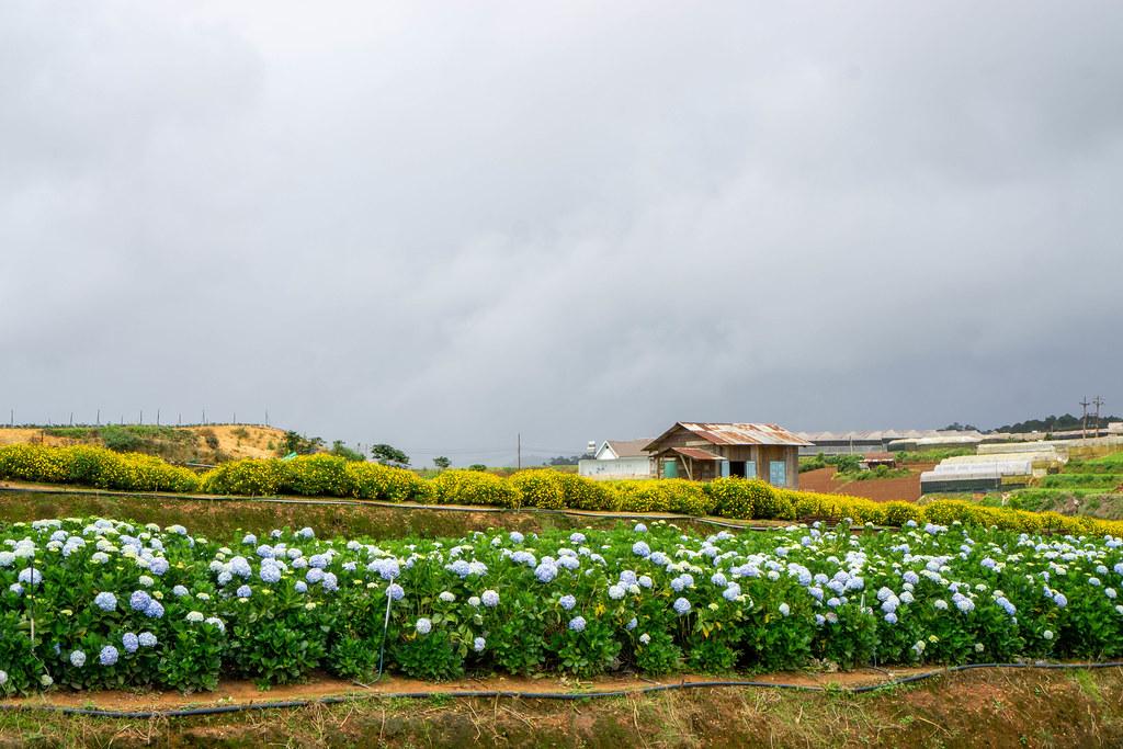 Gelbe Gänseblümchen und Hortensien Blumenfarm in Da Lat, Vietnam