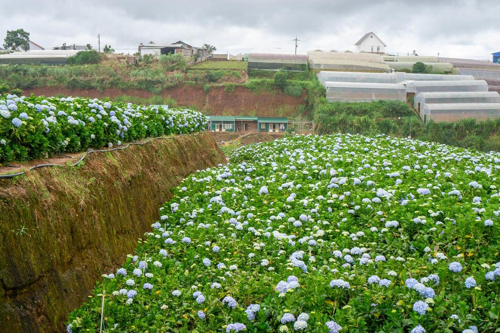 Many colorful Flowers at Hydrangea Garden in Da Lat, Vietnam