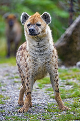Hyena in a cool position