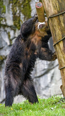 Spectacled bear playing