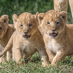 On the Move to a New Den-Masai Mara by June Sparham