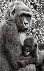 Monkey baby Variation 3 - Photo of Savigné