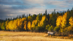 Golden Colorado Aspens