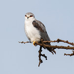 Black Shouldered Kite – East Africa by June Sparham