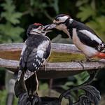 Adult Woodpecker Feeding Juvenile by Richard John White