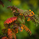 Autumn Rowan by Phil Luck