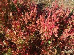 Leigh Creek in the Flinders Ranges. Australian native hops flowering. Dodonaea viscosa.