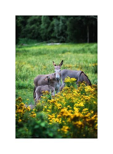 Donkeys in Ellerhei