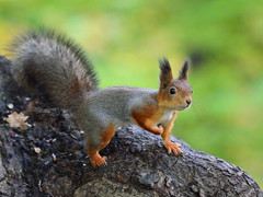 Red squirrel being almost grey