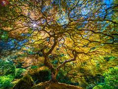 Japanese Maple Tree Mixed Autumn Colors: The Tao of the Portland Japanese Garden: Yellow Orange Green Red Leaves Fine Art Landscape Nature Photography! Fuji GFX 100 Zen Tao Photography! Elliot McGucken Master Medium Format Photographer Fujifilm GFX100!