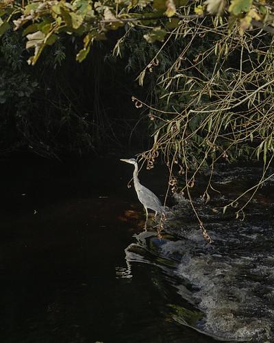 Dodder heron