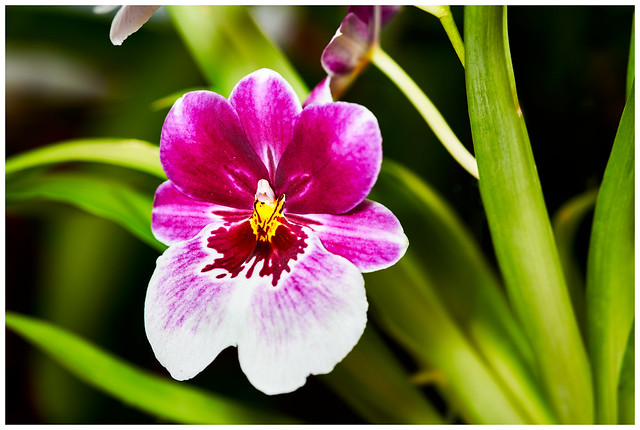 Photo:Pansy Orchid (Miltoniopsis cv) By Geoff J Mckay