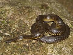 Opisthotropis andersonii