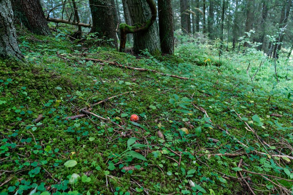 Death cup (amanita) bright red mushroom in green field amid Swiss forrest