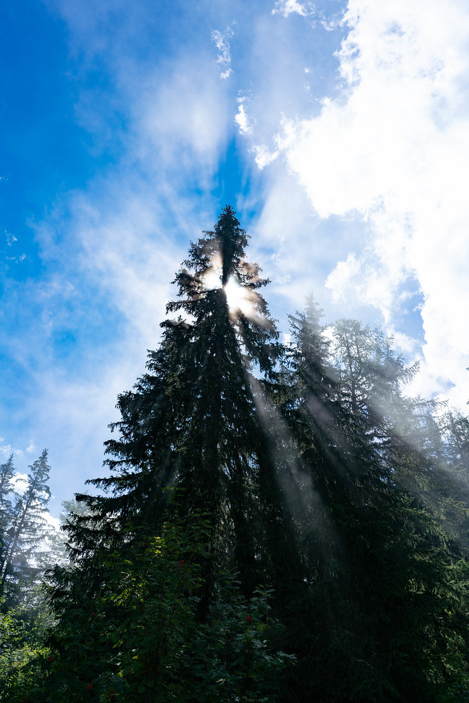 Sun rays shining through the fir-tree top with beautiful blue skies in the background